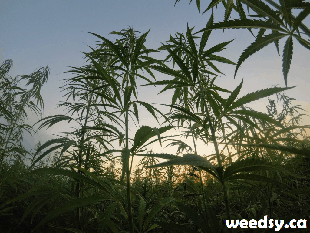 What Is a Landrace Strain? Learn the origin of Cannabis