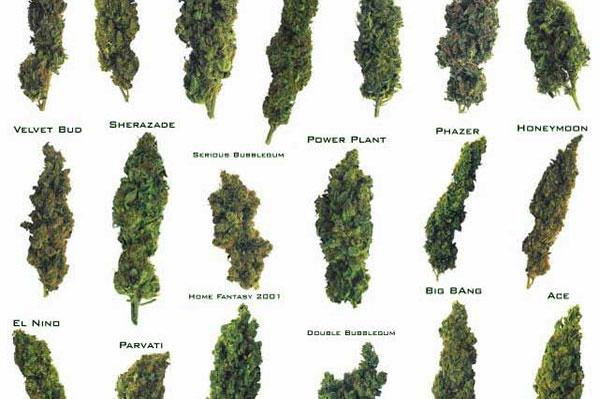 Multiple cannabis strains