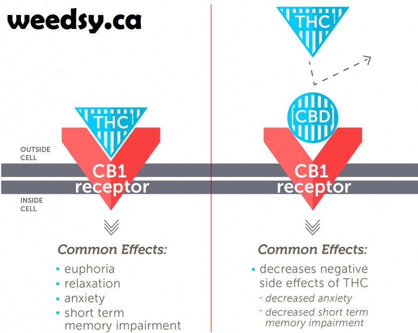 cb1-thc-receptor